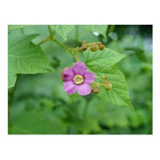 Flores rosadas de la frambuesa floreciente (Rubus  Postal