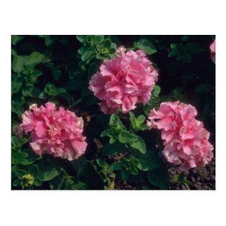 Flores rosadas de la petunia del jardín (petunia tarjetas postales