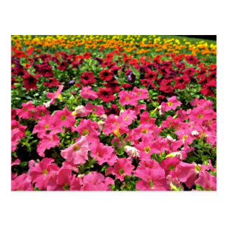 Flores rosadas de las petunias multicoloras tarjeta postal
