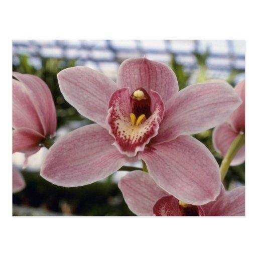 "Flores rosadas de Lilian Stewart ""Nadine"" (Cymbidi Tarjetas Postales"