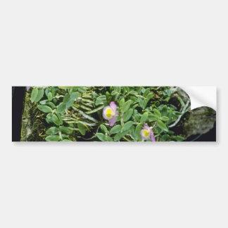 Flores rosadas de Lodgesii Dendrobium Pegatina De Parachoque