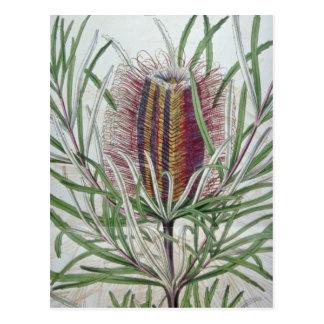 Flores rosadas de los occidentalis del Banksia Postal