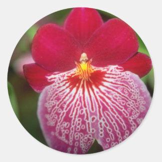Flores rosadas de Miltoniopsis Pegatina Redonda