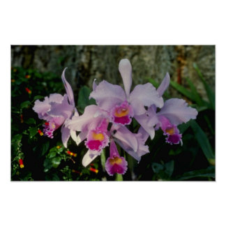 Flores rosadas de Schruederae (Cattleya) Posters