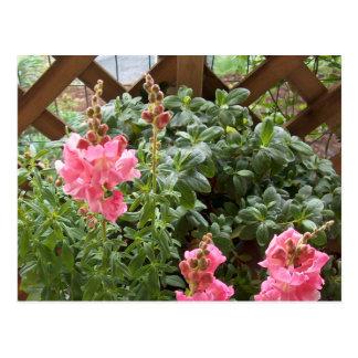 Flores rosadas de Snapdragon Tarjetas Postales