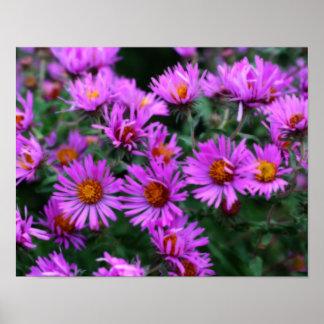 Flores rosadas del aster del otoño posters