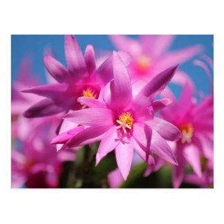 Flores rosadas del cactus de navidad tarjeta postal