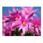 Flores rosadas del cactus de pascua tarjeta postal