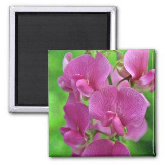 Flores rosadas del guisante de olor imán cuadrado