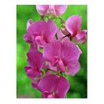 Flores rosadas del guisante de olor postal
