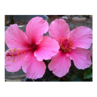 Flores rosadas del hibisco tarjeta postal