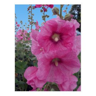Flores rosadas del hibisco tarjetas postales