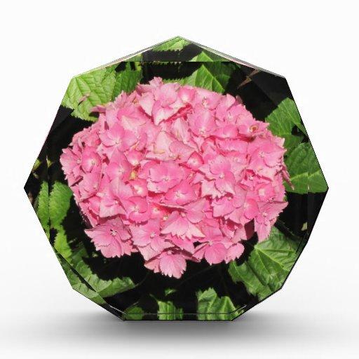Flores rosadas del Hydrangea