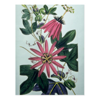 Flores rosadas del kermesina de la pasionaria postales