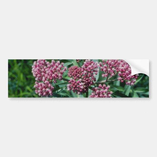 Flores rosadas del Milkweed de pantano (Asclepias  Pegatina De Parachoque