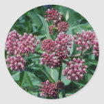 Flores rosadas del Milkweed de pantano (Asclepias Pegatina Redonda