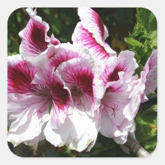 Flores rosadas del Pelargonium Pegatina Cuadrada