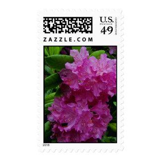 Flores rosadas del rododendro franqueo