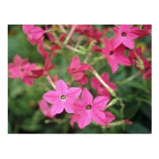 Flores rosadas del tabaco floreciente (nicociana A Tarjetas Postales