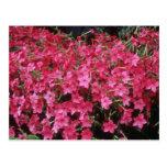 Flores rosadas del tabaco floreciente (nicociana A Postales