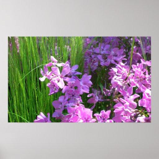 Flores rosadas del verano del Phlox y de la hierba Póster