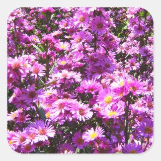 Flores rosadas hermosas del aster pegatina cuadrada