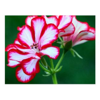 Flores rosadas y blancas del geranio tarjeta postal