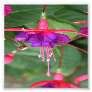 Flores rosadas y púrpuras de Fuschia Fotografía
