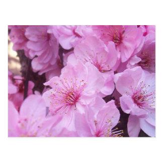 Flores rosados del melocotón tarjeta postal