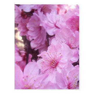 Flores rosados del melocotón tarjetas postales