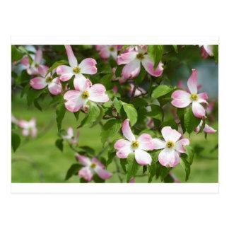 Flores rosados florecientes del Dogwood de la Tarjeta Postal