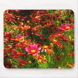 Flores salvajes brillantes de la margarita rosada