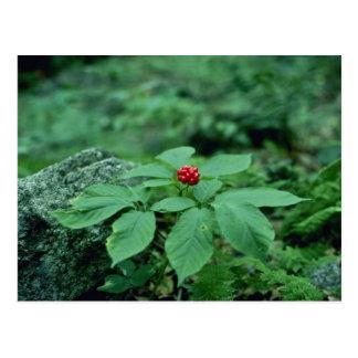 Flores salvajes del Ginseng (Panax Quinquefolius) Postales