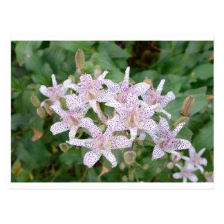 Flores Tom Wurl de Lilly del sapo Postales