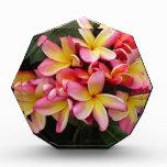 Flores tropicales del Plumeria del rosa y del amar