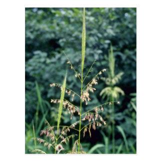 Flores verdes del arroz salvaje (zizania acuática) postal
