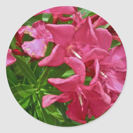 Flores y bayas del Oleander que coordinan Pegatina Redonda