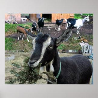 Florezca (cabra) con la familia de la cabra póster