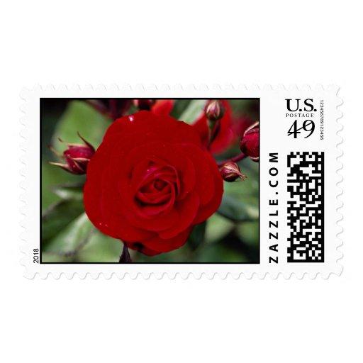 Floribunda precioso 'Europeana