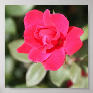 Floribunda preferido rojo subió póster