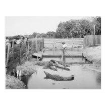Florida Alligator Show, 1904 Postcard