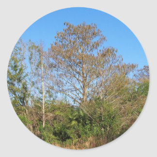 Florida Bald Cypress on a swampy ranch Classic Round Sticker