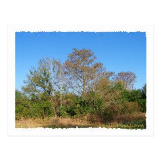 Florida Bald Cypress on a swampy ranch Postcard