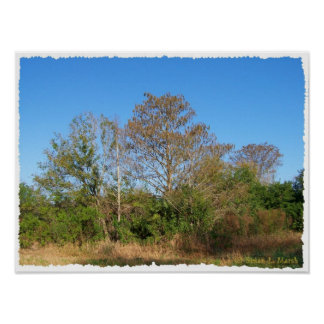 Florida Bald Cypress on a swampy ranch Poster