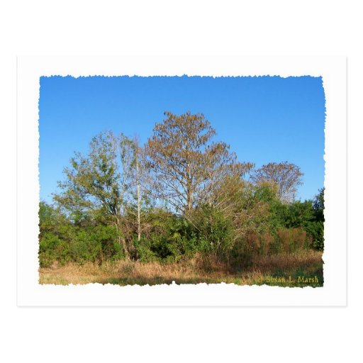 Florida Bald Cypress scene in a swamp Postcard