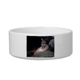 florida cougar eyes open against rocks cat bowl