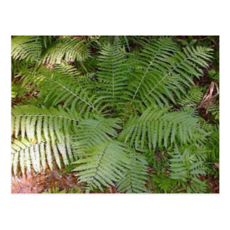 Florida Fern Postcard
