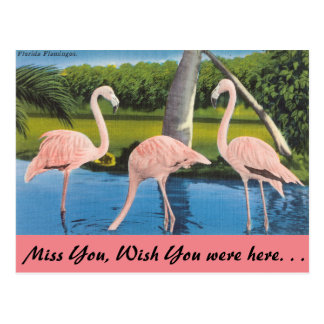 Florida, Flamingos Postcard