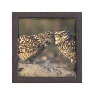 Florida, Fort Myers. Burrowing Owl pair bonding Gift Box