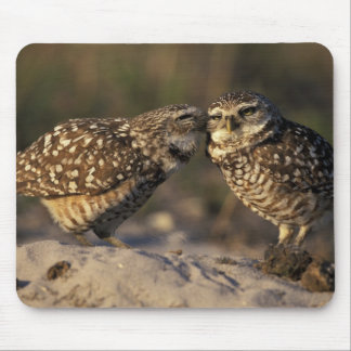 Florida, Fort Myers. Burrowing Owl pair bonding Mouse Pad